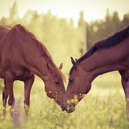 Horse Couple Pic