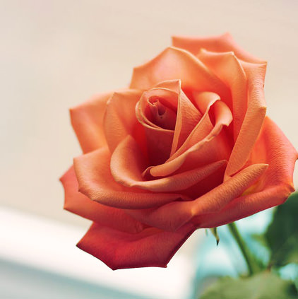 Orange Single Rose DP Photos